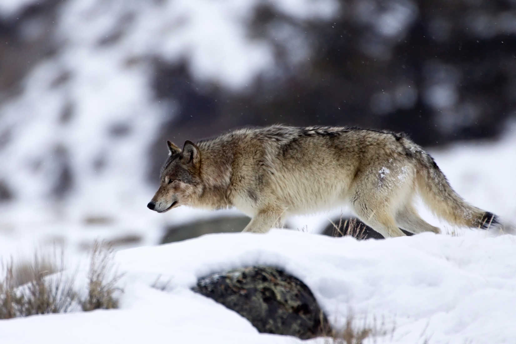How Non-Native Wolves Wreak Havoc in the West