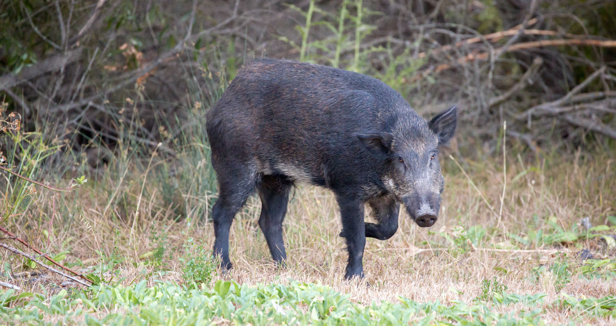 Considerations for the Perfect Feral Pig Gun