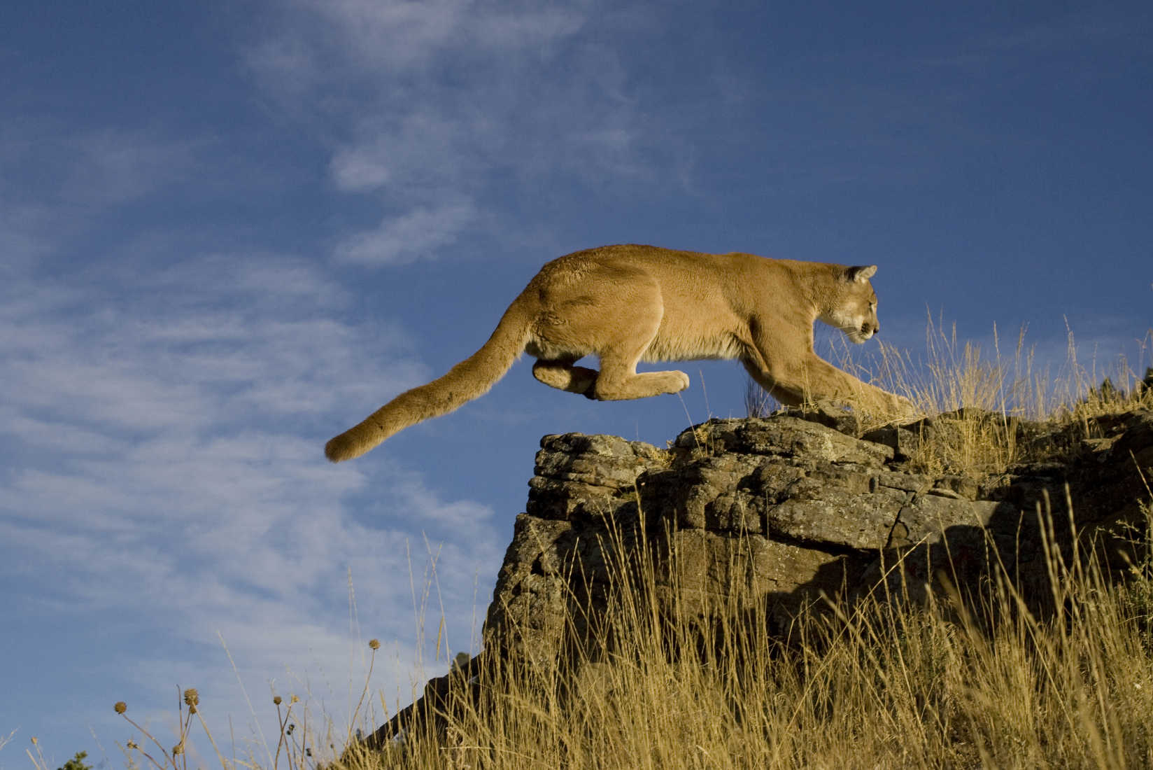 A Mountain Lion after Track Practice