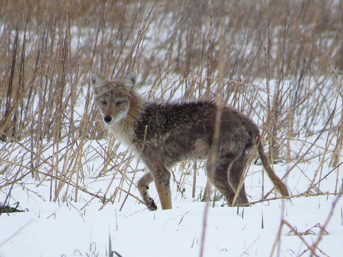 Coyotes and the Call of the Wilderness