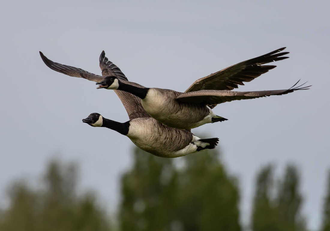 Another Melancholy Trip High in the Air with a Few Canada Geese